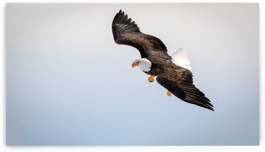 Mature Bald Eagle aiming for prey. by Jimmie Pedersen