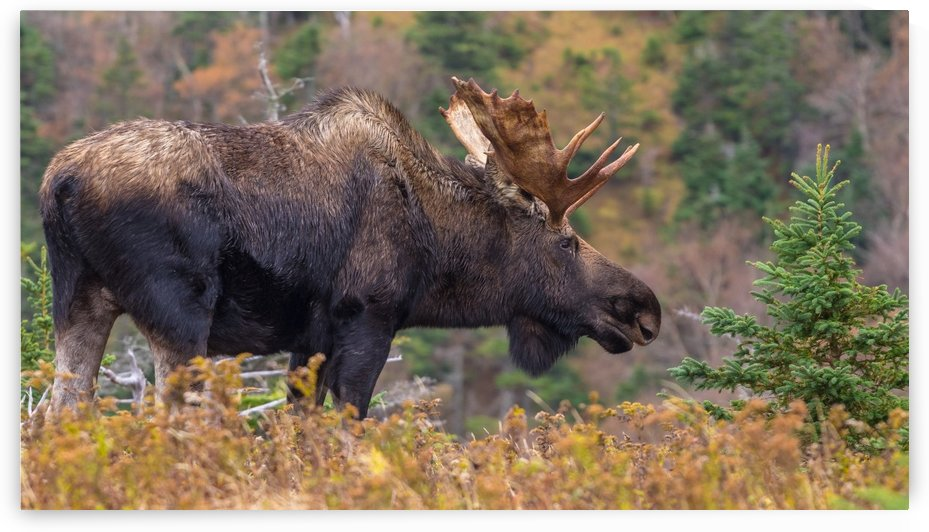 Bull moose on top of Blueberry mountain Cape Breton highlands by Jimmie Pedersen