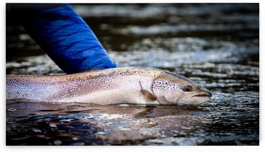 Salmon release by Jimmie Pedersen