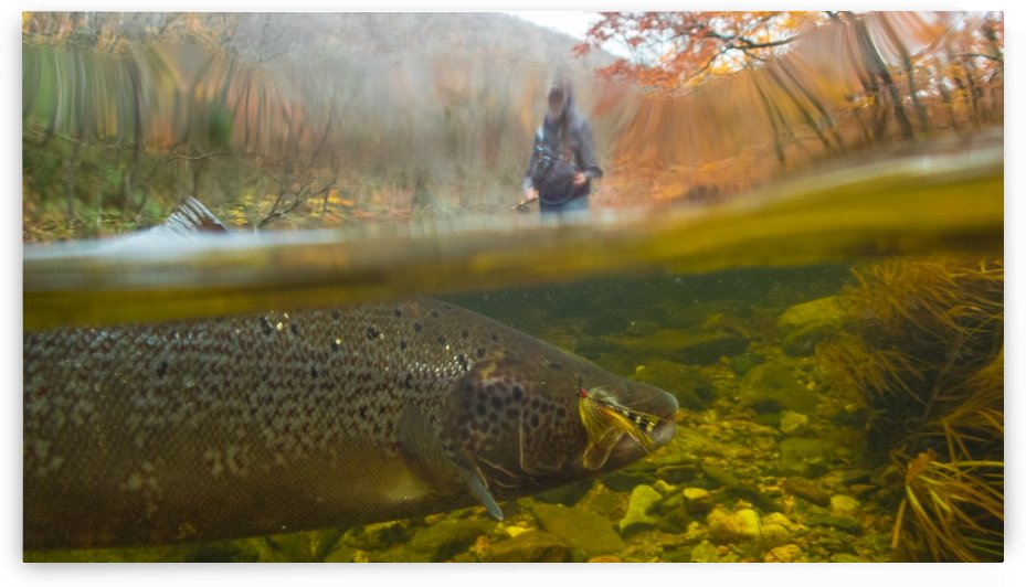 Atlantic salmon hooked on a fly.  by Jimmie Pedersen