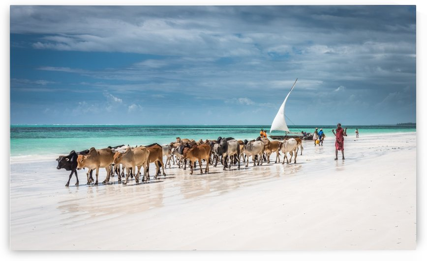 Masai cattle on Zanzibar beach by 1X