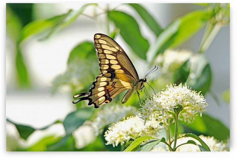 Giant Swallowtail On White Blossoms by Deb Oppermann
