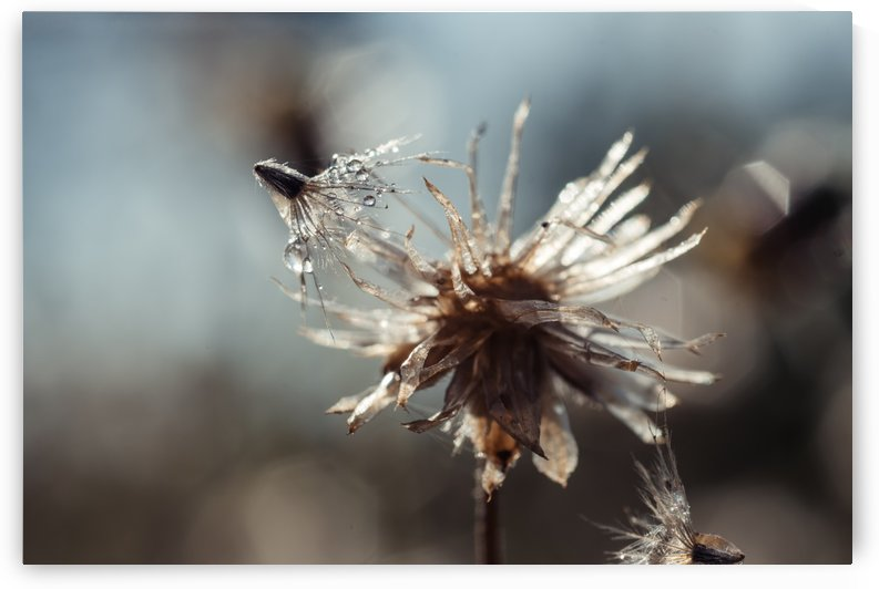 Dew drops on dandelion seed by Krit of Studio OMG