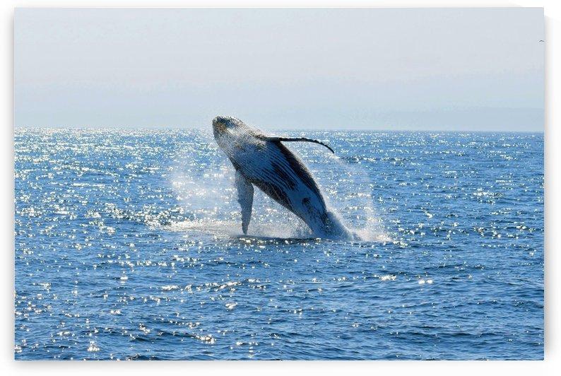 Humpback Whale by Senthia Sanders
