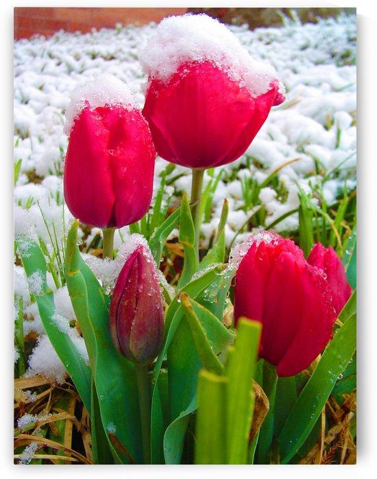 Tulips In Spring by Senthia Sanders