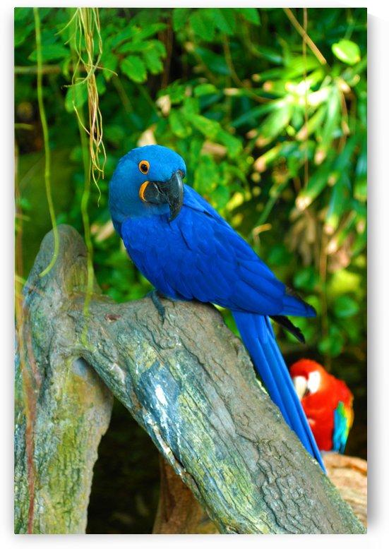 Blue Macaw by Senthia Sanders