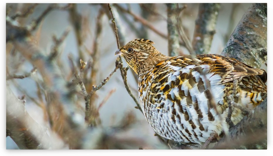 Ruffed Grouse by Jimmie Pedersen