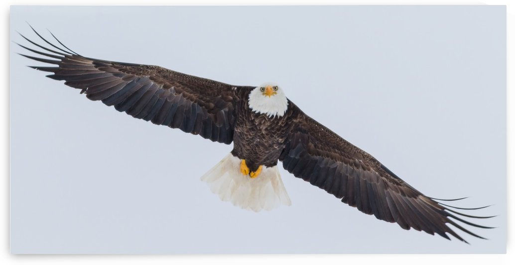 Bald Eagle by Jimmie Pedersen