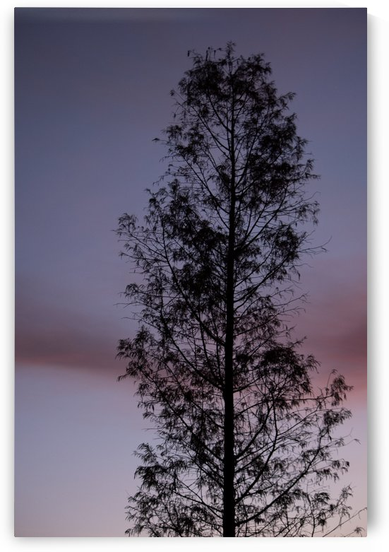 Tall Tree at Dawn by Skye