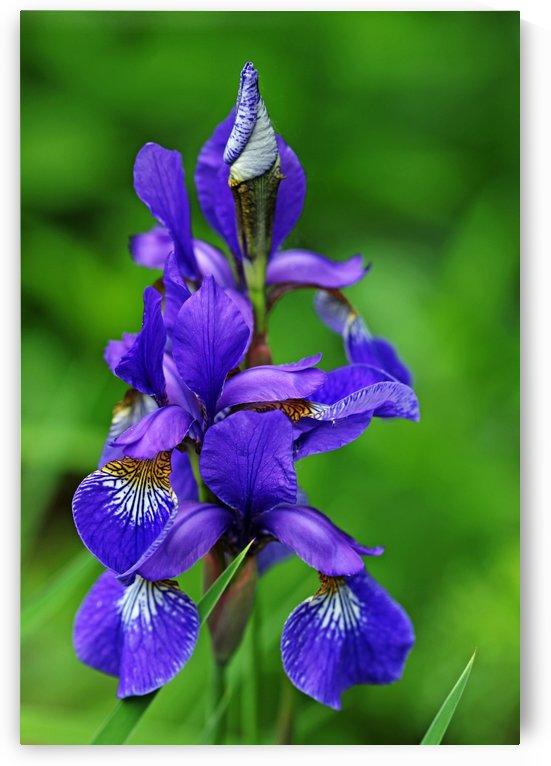 Siberian Iris Elegance by Deb Oppermann