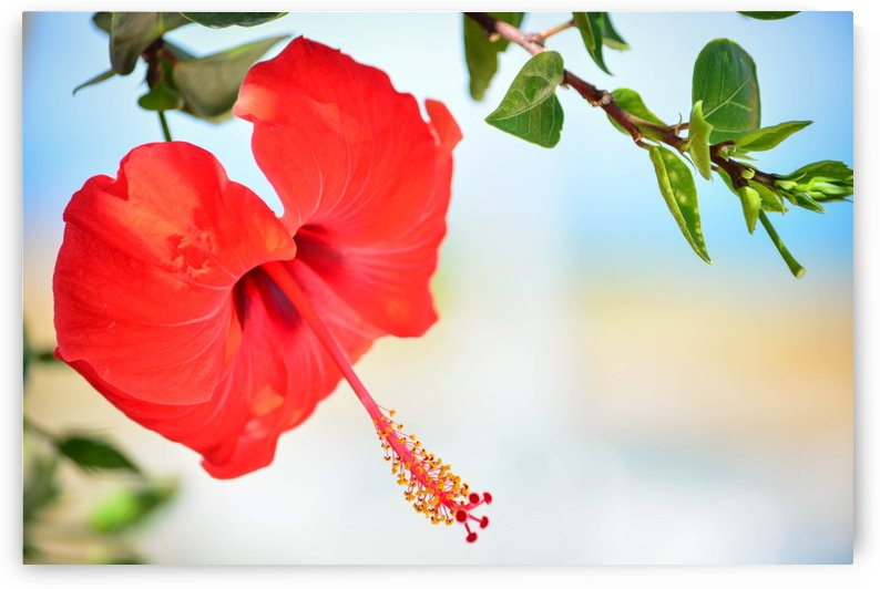Red Hibiscus flower by Adi Daniel Antone