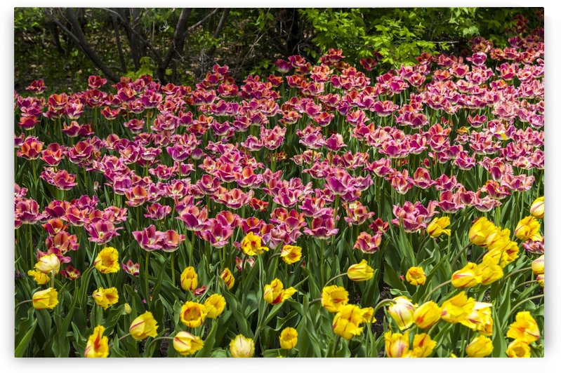 Tulip Bed 21 by Bob Corson