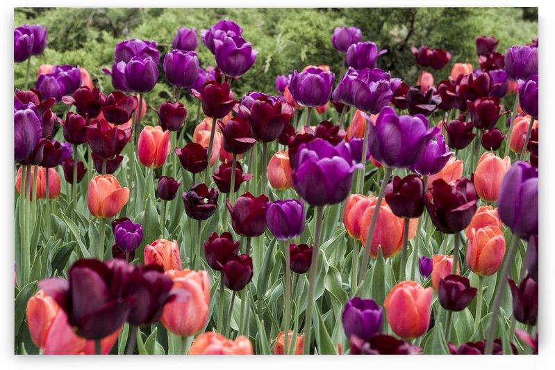 Tulip Bed 23 by Bob Corson