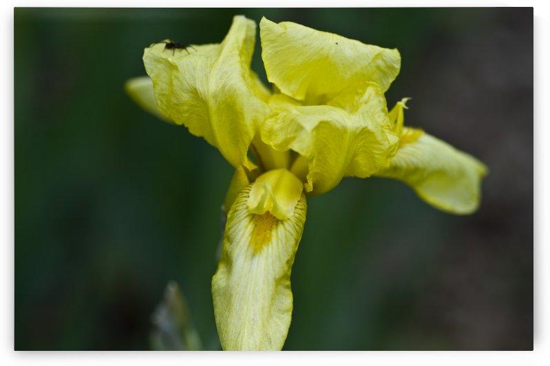 Yellow Bearded Iris 3 by Bob Corson