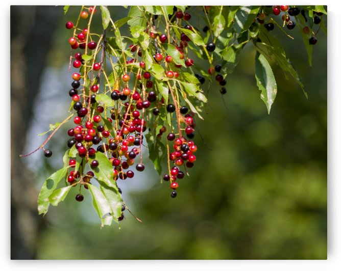 Red Berries by Bob Corson