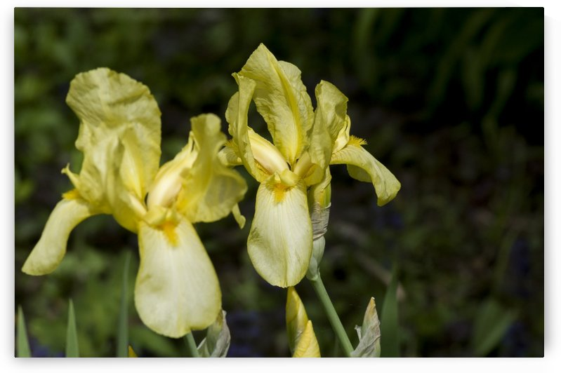 Pair of Yellow Bearded Iris 2 by Bob Corson