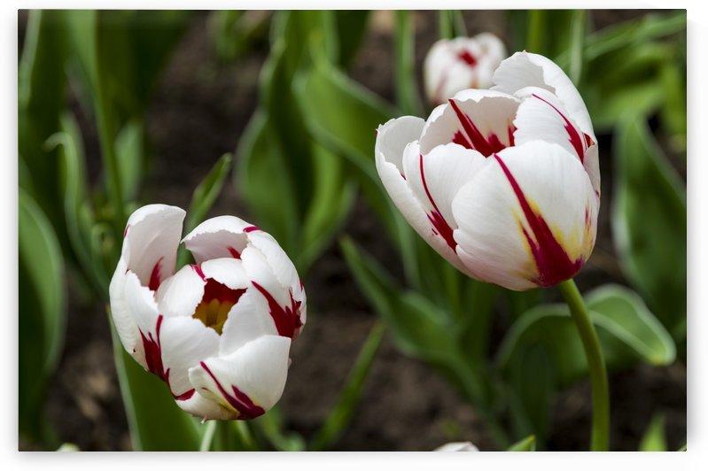 Canada 150 Tulips by Bob Corson