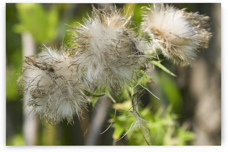 Canada Thistle Bloom 2 by Bob Corson