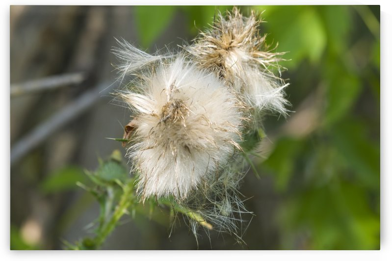 Canada Thistle Bloom 1 by Bob Corson