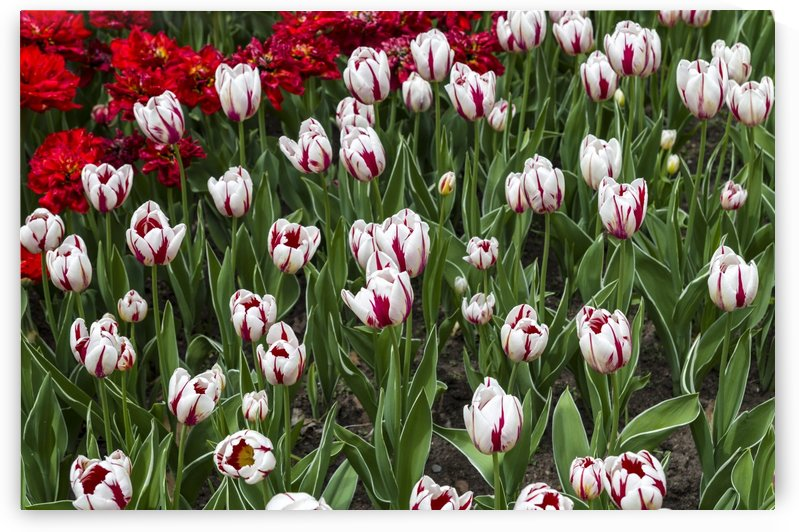 Canada 150 and red tulips by Bob Corson