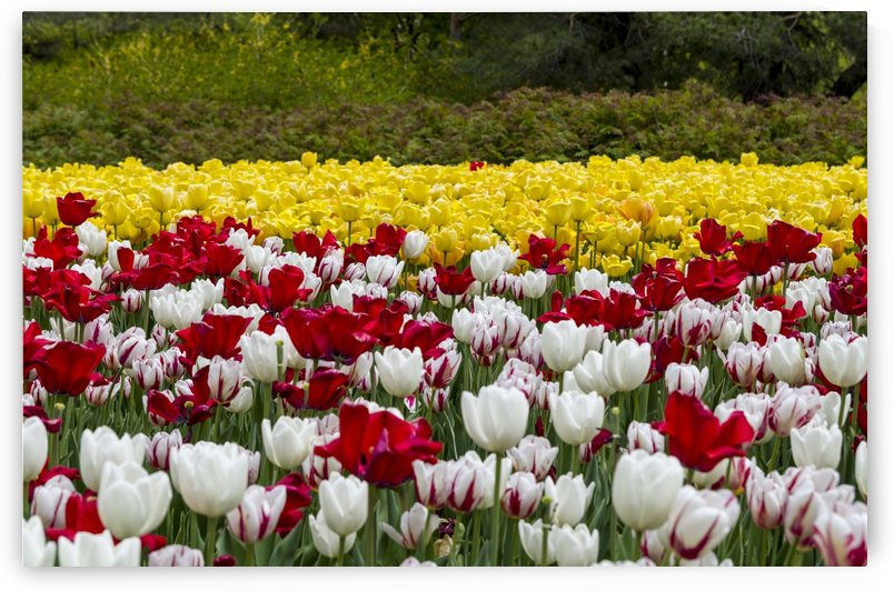 Tulip Bed 16 by Bob Corson