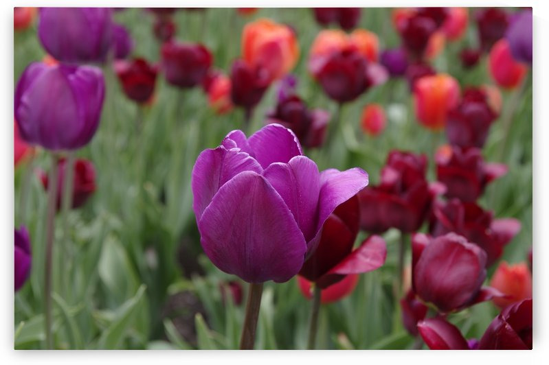Tulip Bed 24 by Bob Corson