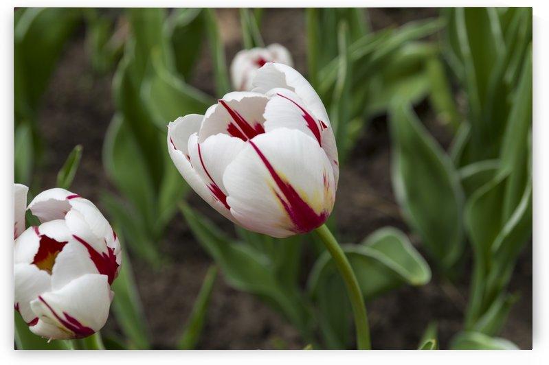 Canada 150 Tulips 6 by Bob Corson
