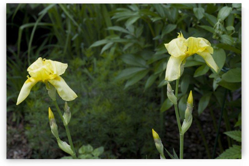 Pair of Yellow Bearded Iris by Bob Corson