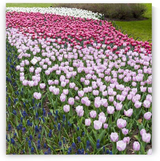 Tulip Bed 14 by Bob Corson