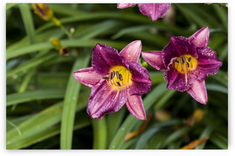 Purple Stealla DOro Day Lily 4 by Bob Corson
