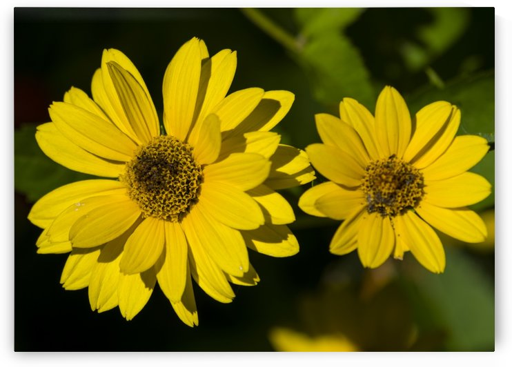 Brown Eyed Susans 2 by Bob Corson