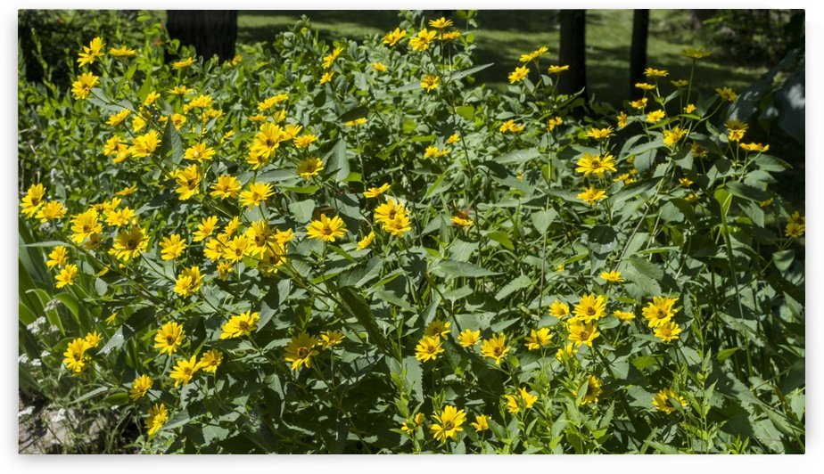 Mock Sunflower by Bob Corson