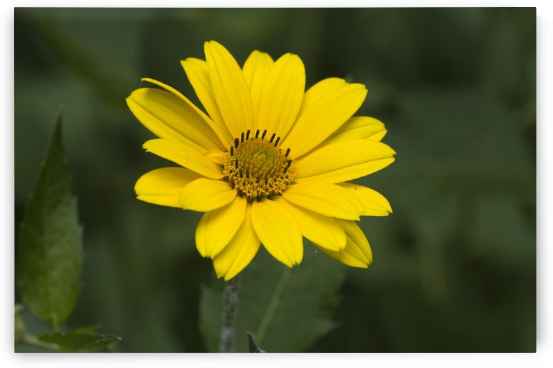 Yellow Daisy 3 by Bob Corson