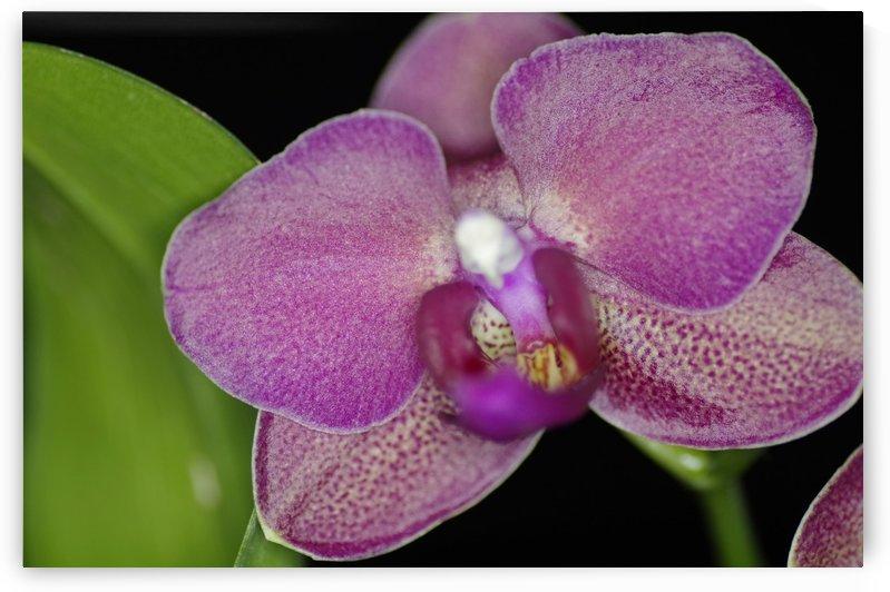 Orchid Blossom 2 by Bob Corson