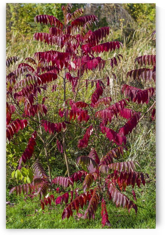 Sumac Bush in Autumn 1 by Bob Corson