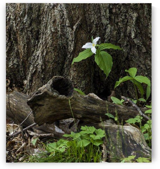 White Trillium 1 by Bob Corson