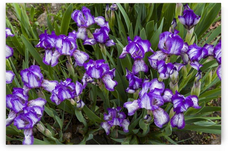 Purple Bearded Iris 3 by Bob Corson