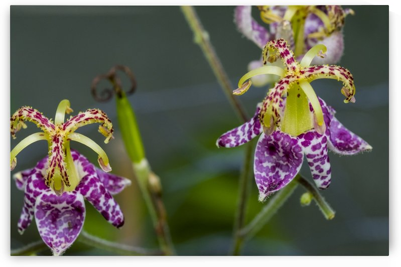 Toad Lilies by Bob Corson