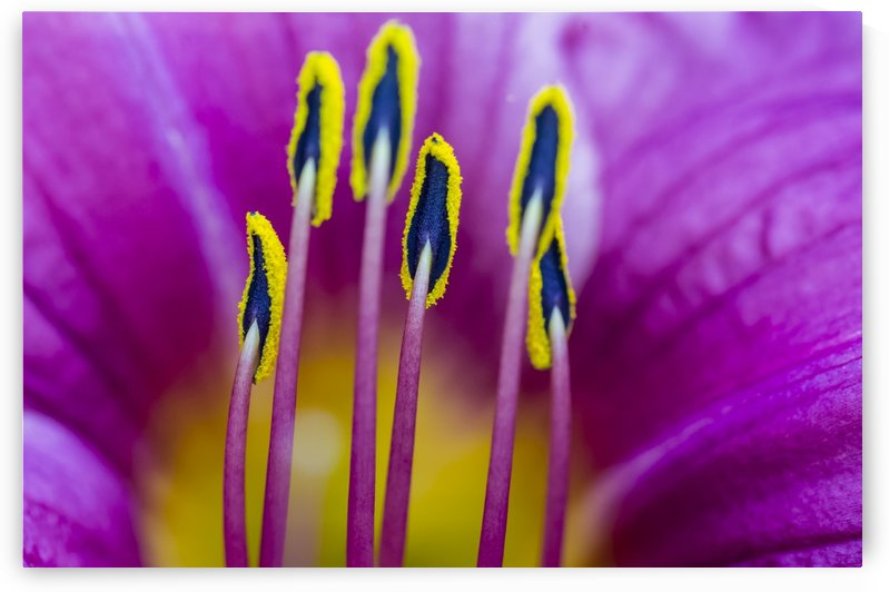 Macro of Purple Day Lily Stamen by Bob Corson