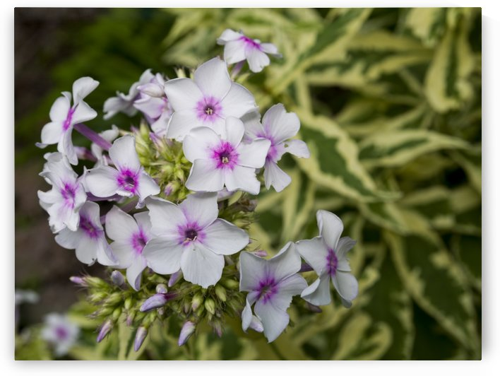 Pink Centered Phlox by Bob Corson
