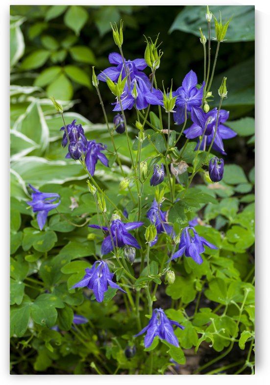 Purple Columbine Plant by Bob Corson