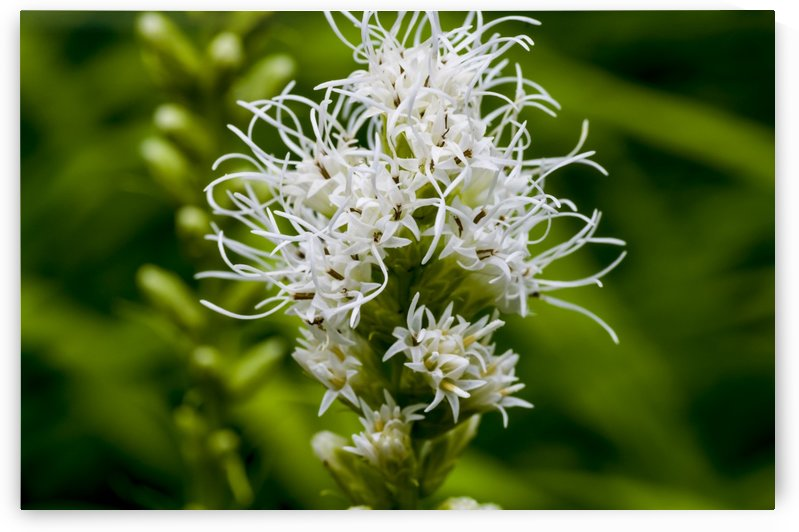 White Liatris or Snake root 2 by Bob Corson