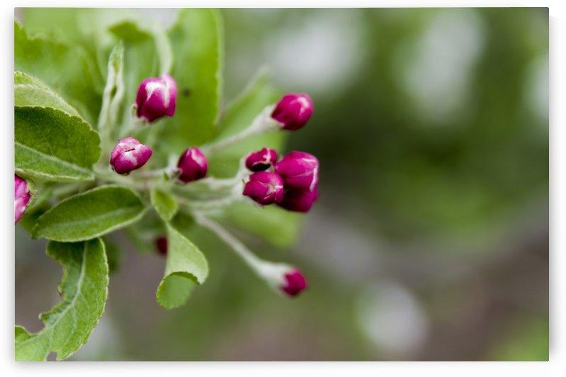 Apple Buds by Bob Corson
