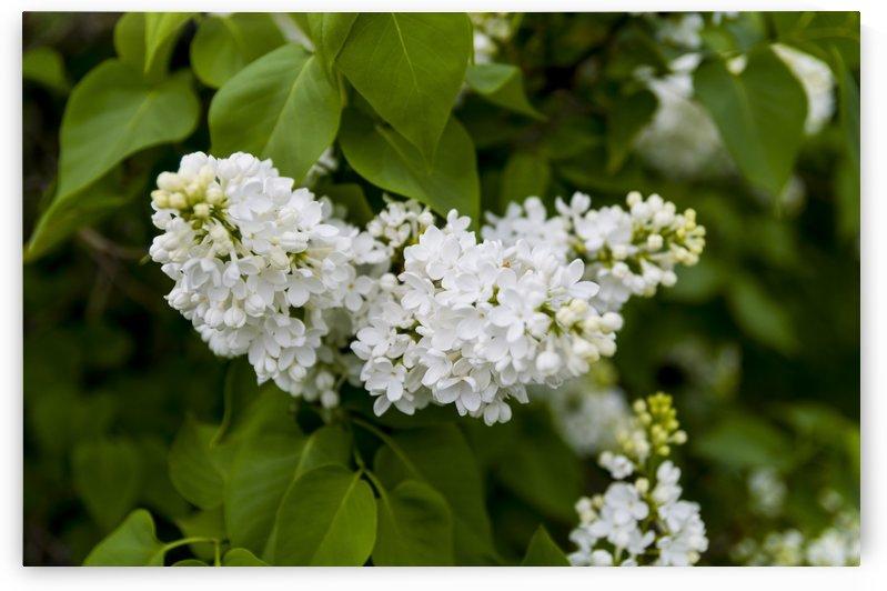 White Lilac Blossoms by Bob Corson