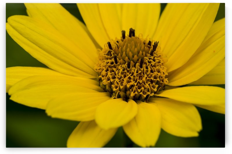 Yellow Daisy by Bob Corson