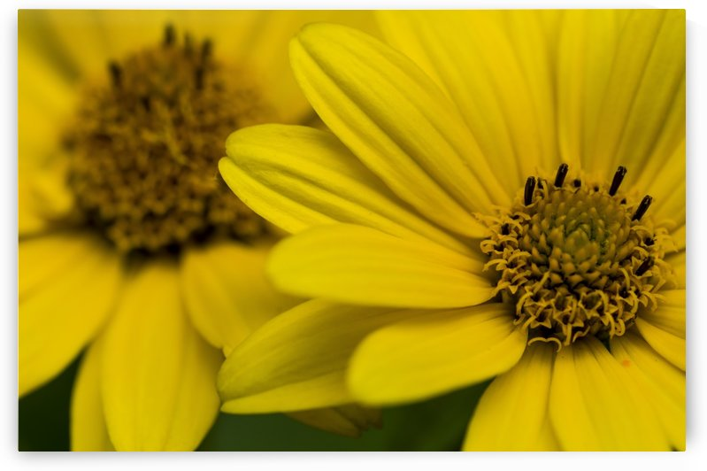 Yellow Daisies by Bob Corson