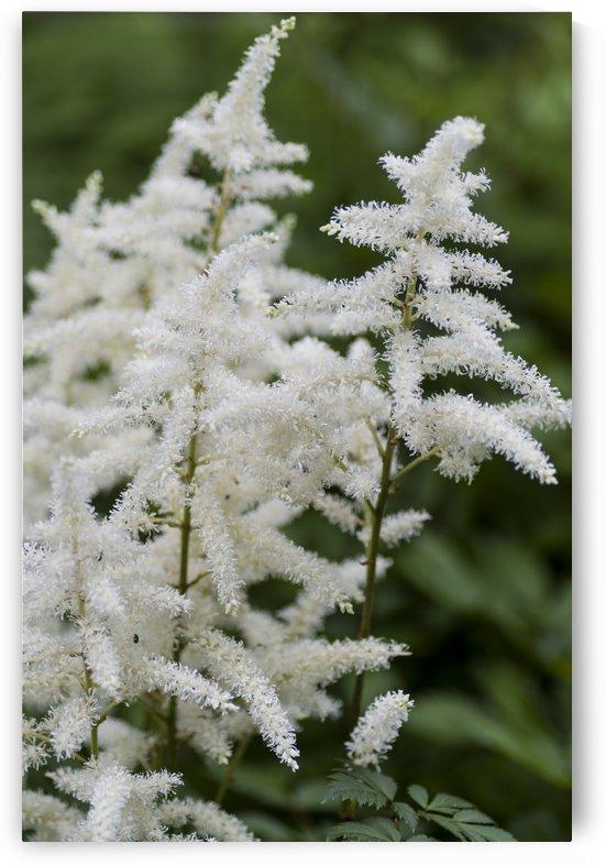 White Astilbe by Bob Corson