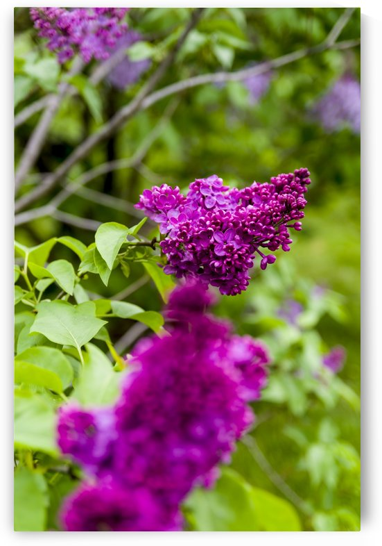 Purple Lilac Blossoms 2 by Bob Corson