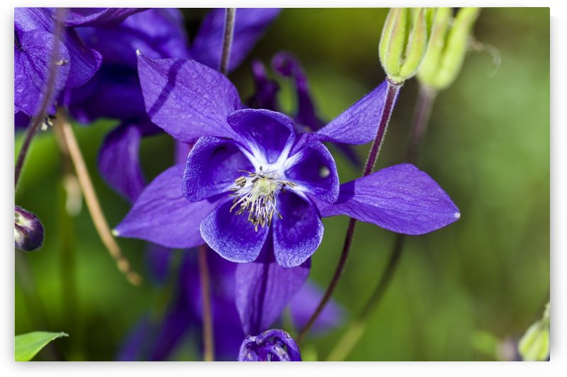 Purple Columbine by Bob Corson