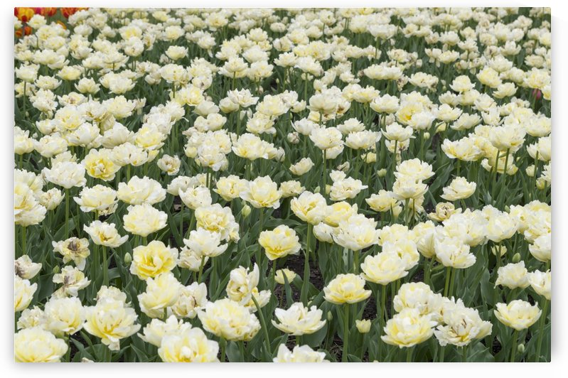 Tulip Bed 10 by Bob Corson